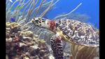 wwf_coral_triangle_turtle03.jpg