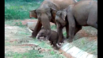 whitley_awards_asian_elephants03.jpg