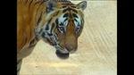 0509_tiger1.jpg
