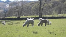 Alpacas guarding the flock